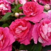 Tried & True Impatiens Double Delight Pink
