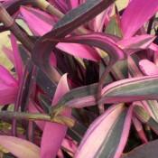Tried & True Setcreasea Pink Stripes