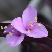 Tried & True Setcreasea Purple Heart