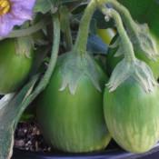 Tried & True Emerald Isle Eggplant