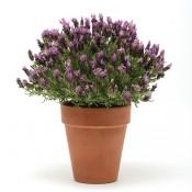 Lavender Bandera
