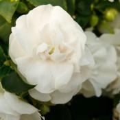 Tried & True Impatiens Double Delight Pearl White
