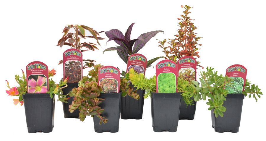 Tried & True Garden Collection is a selection of easy to grow annual and perennial plants that are at home in any garden.