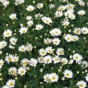 Tried & True Argyranthemum Lovey Dove