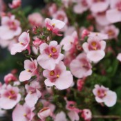 Tried & True Diascia Light Pink