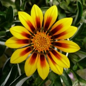 Tried & True Gazania