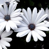 Tried & True Osteospermum