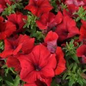 Tried & True Petunia SunPassion Red