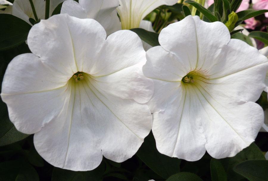 Petunia Sunpassion White