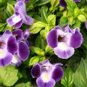Tried & True Torenia Purple Dream