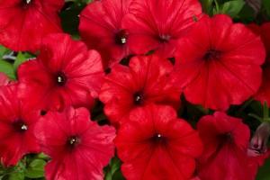 T&T Petunia SunPassion Red