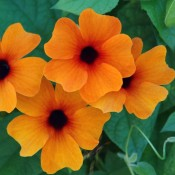 Tried & True Thunbergia Red-Orange
