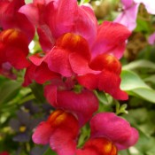 Tried & True Trailing Snapdragon