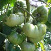 Tried & True Tomato Aunt Ruby's German Green
