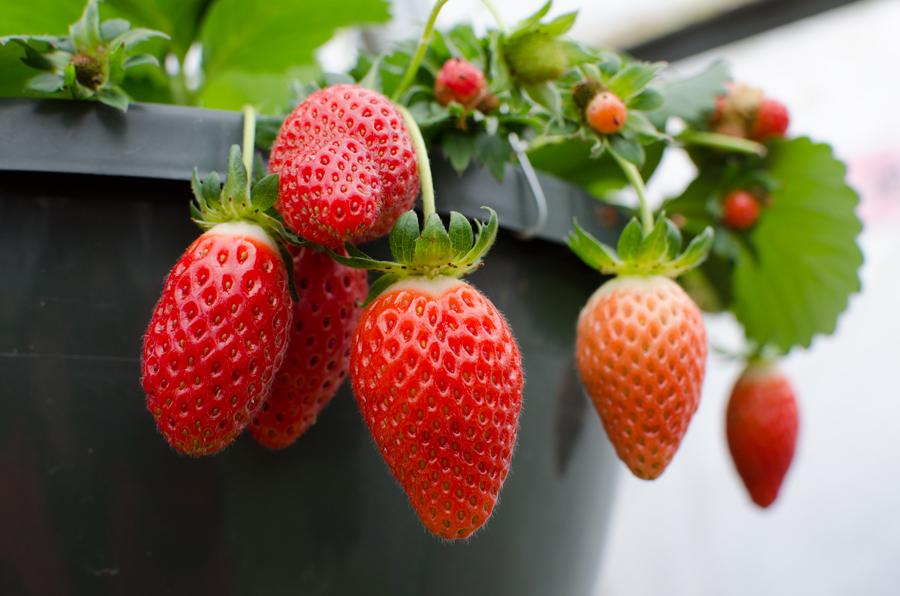 Tried & True Strawberry