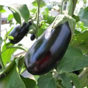 Tried & True Eggplant