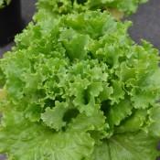 Tried & True Bergam's Green Leaf Lettuce