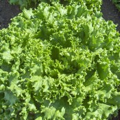 Tried & True Bergam's Green Leaf Lettuce