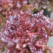 Tried & True New Red Fire Leaf Lettuce