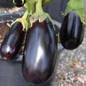 Tried & True Nadia F1 Eggplant