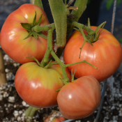 Tried & True Tomato Old German