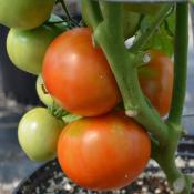 Tried & True Patio F1 Tomato