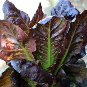 Tried & True Lettuce Rouge D'Hiver Romaine