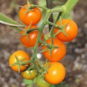 Tried & True Sungold F1 Tomato