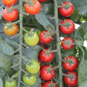 Tried & True Sweet Million Tomato