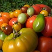 Tried & True Tomato