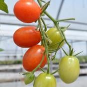 Tried & True Sweet Hearts F1 Grape Tomato