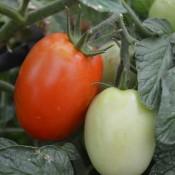 Tried & True La Roma Heirloom Tomato