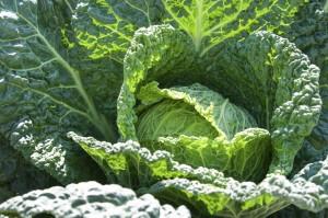 Tried & True Cabbage