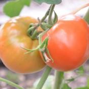 Tried & True Super Fantastic Tomato