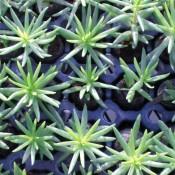 Ice Plant Transplants