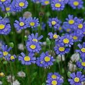 Tosca Blue Felicia