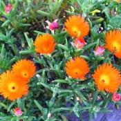 Orange Ice Plant