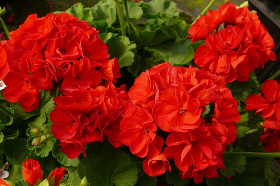 Picture of Live Geranium Calliope Dark Red aka Pelargonium interspecific Plant Fit 5GAL Pot