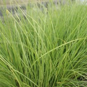 Tried & True Fountain Grass