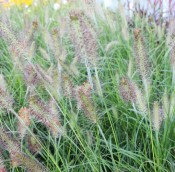 Tried & True Fountain Grass