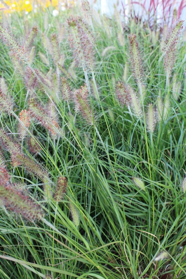 Grass fountain grass pennisetum setaceum for Fountain grass varieties