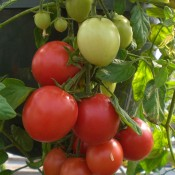 Tried & True Cherry Fountain Tomato