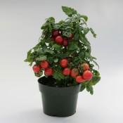 Tried & True Sweet 'n Neat Red Tomato