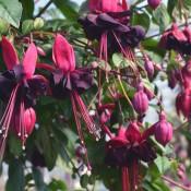 Tried & True Fuchsia Blacky