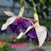 Tried & True Fuchsia Deep Purple