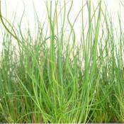 Tried & True Grass Juncus Twisted Arrow