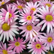 Tried & True Argyranthemum Pink Harmony
