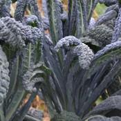 how to cook black magic kale