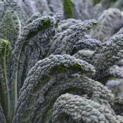 Tried & True Black Magic Lacinato Kale