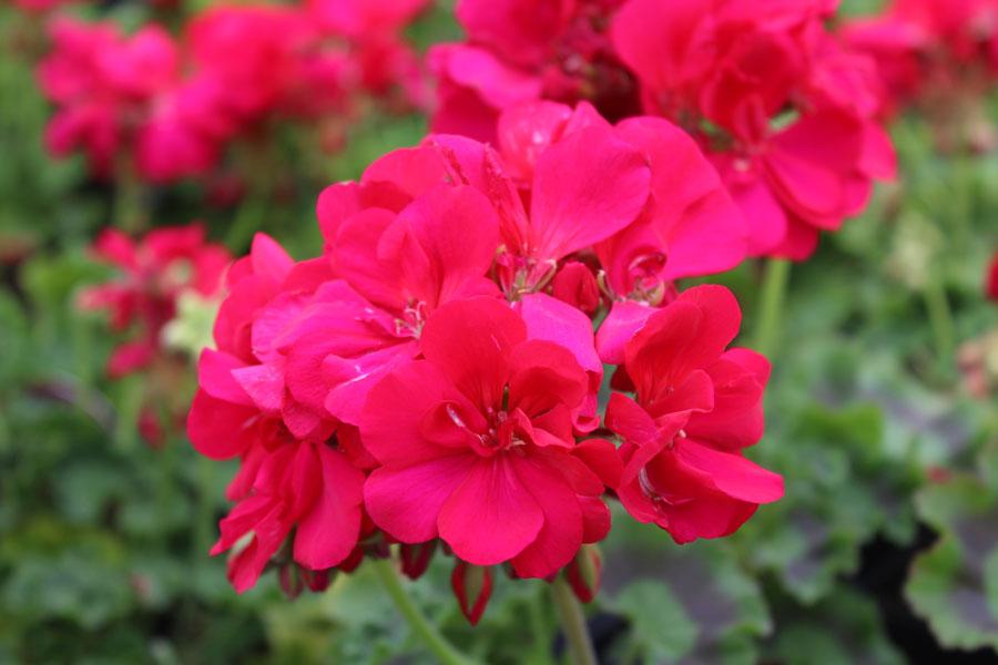 Geranium calliope hot pink tried true geranium calliope hot pink mightylinksfo